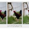 Rooster's water break