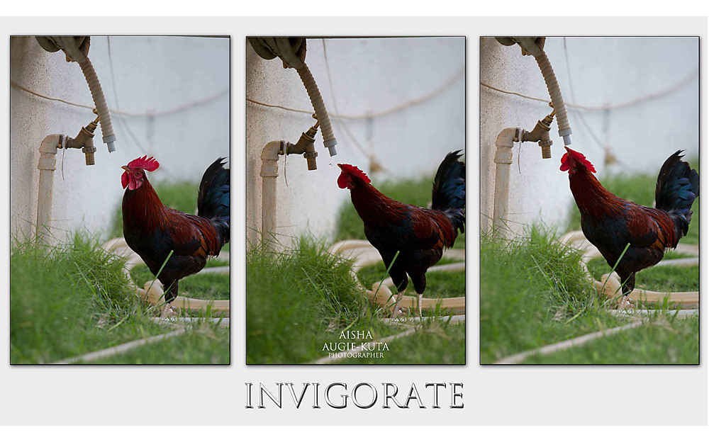 photoblog image Rooster's water break