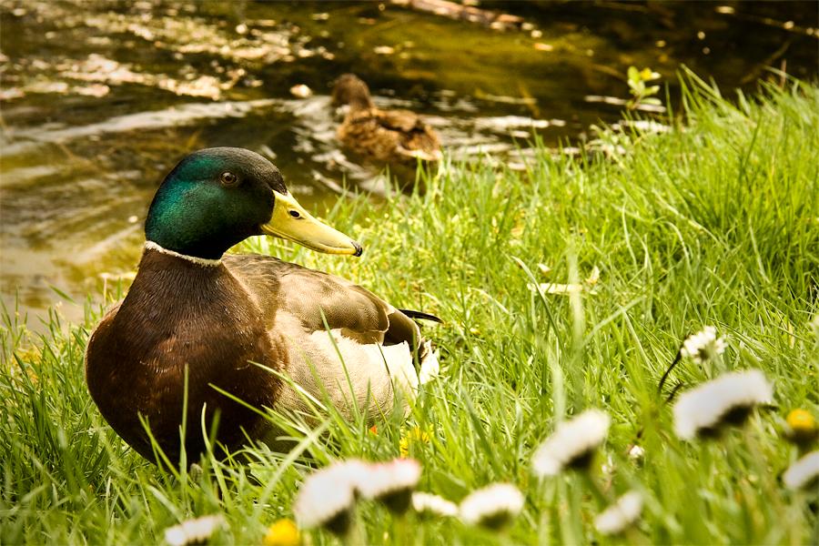 photoblog image Duckies