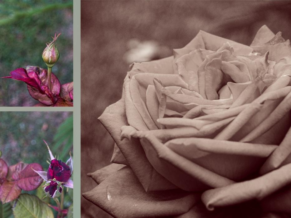 photoblog image Once upon a rose bud