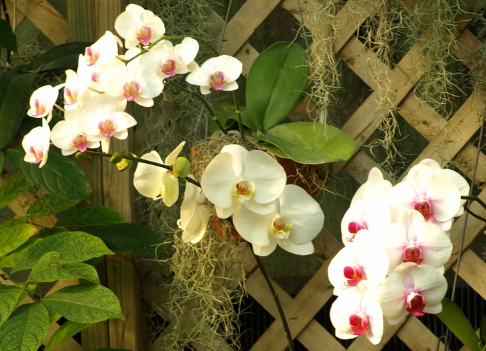 photoblog image Orchids from Lincoln Park