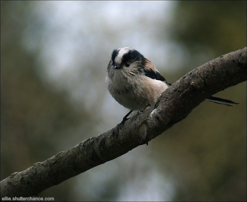 photoblog image Long-tailed Tit