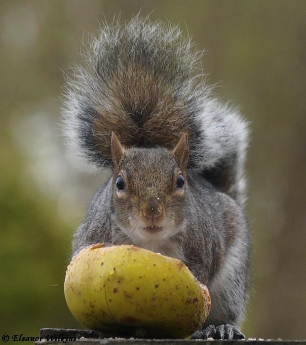 photoblog image Grey Squirrel - Sciurus carolinensis