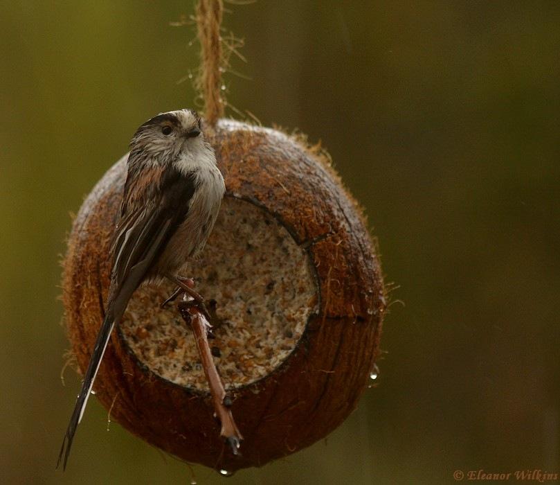 photoblog image Long-tailed Tit, Aegithalos caudatus