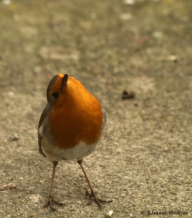 photoblog image Robin - Erithacus rubecula