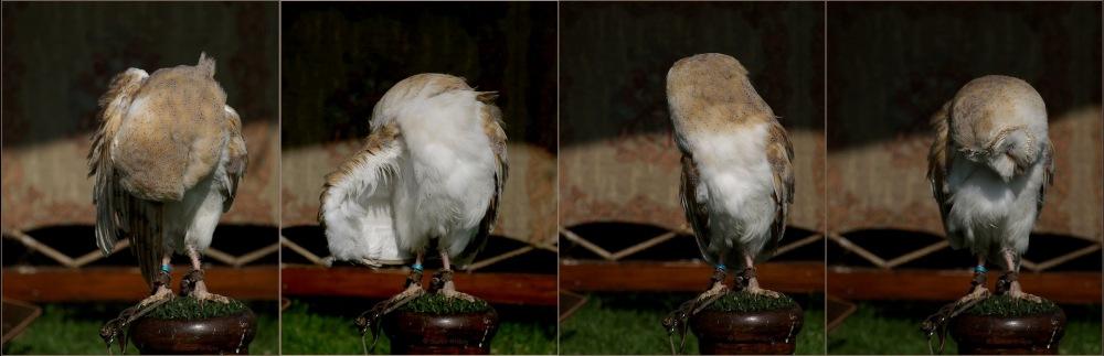 photoblog image Barn Owl