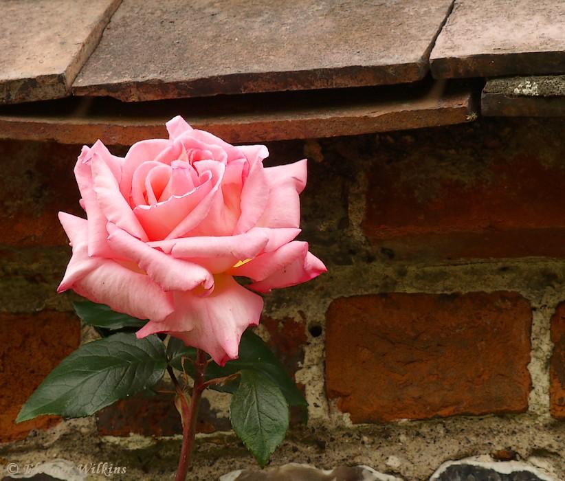 photoblog image Rose week #2