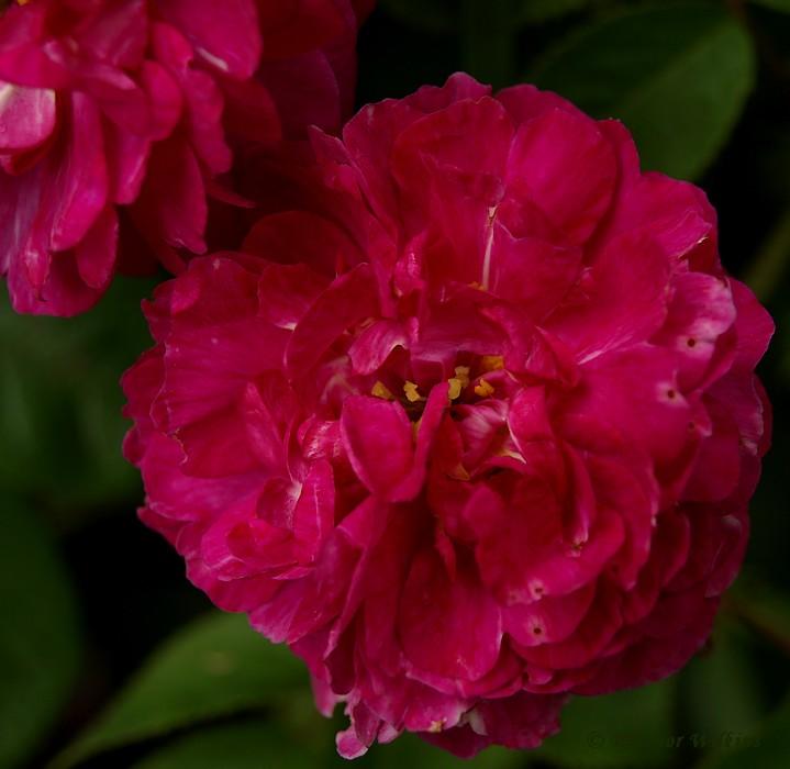photoblog image Rose week #1