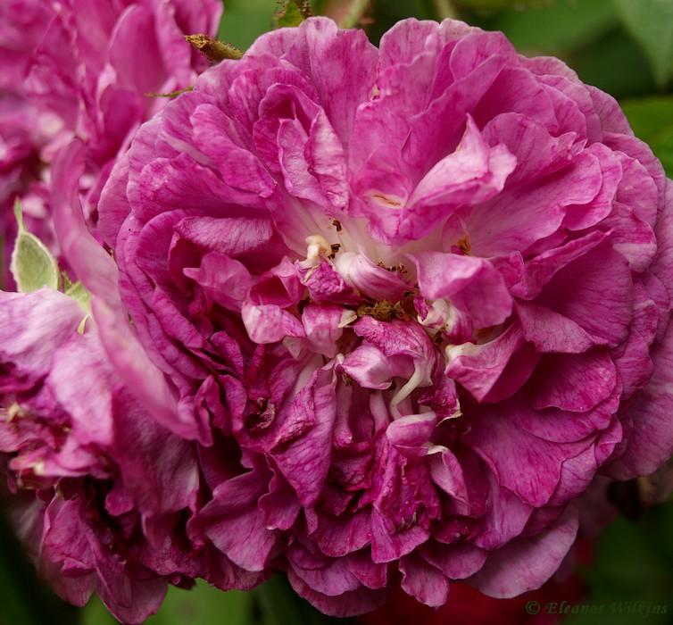 photoblog image Rose week #3