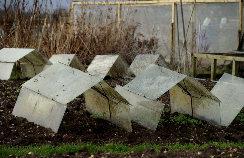 photoblog image At the Allotment - January