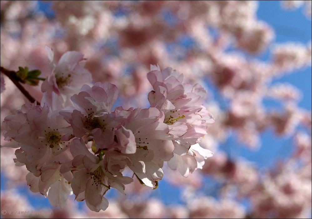 photoblog image Spring blooms