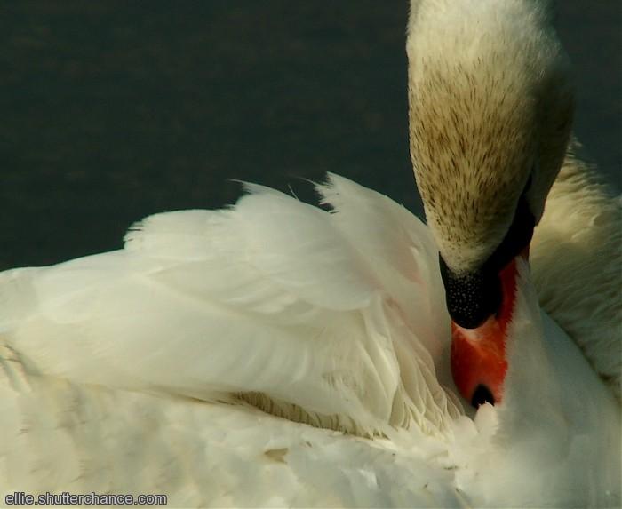 photoblog image Swan preening