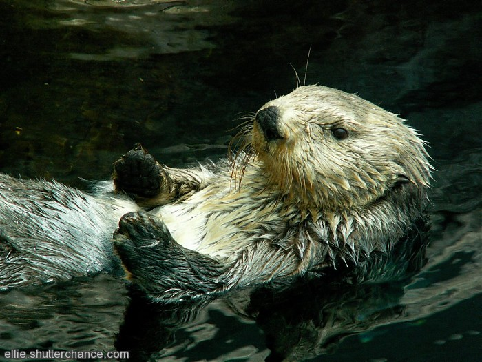 photoblog image Sea Otter