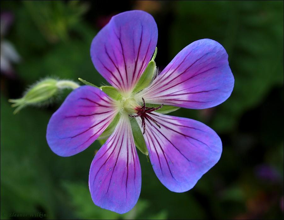 photoblog image Cranesbill / Geranium