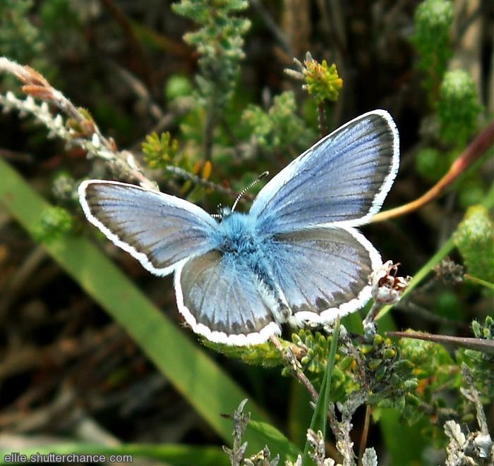 photoblog image Silver-Studded Blue