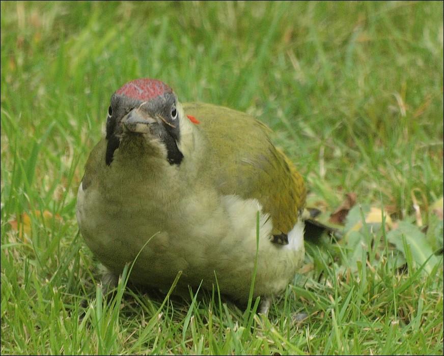 photoblog image Green Woodpecker