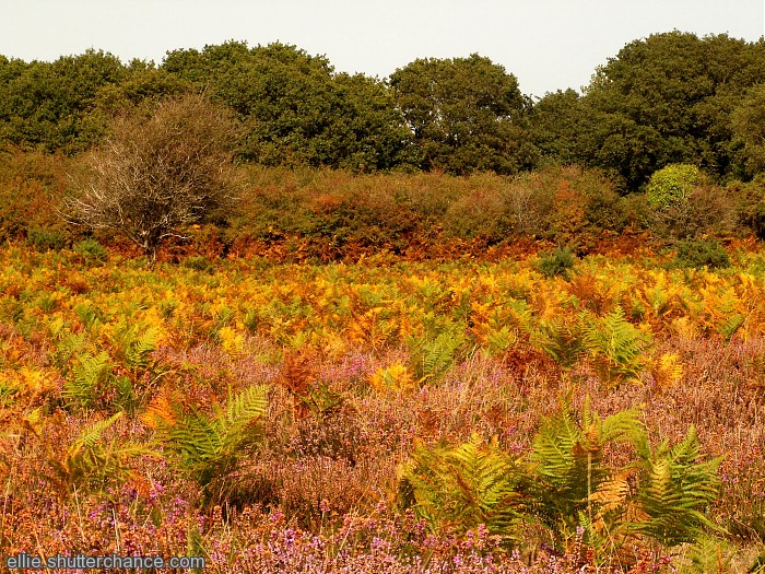 photoblog image sunny bracken and heather