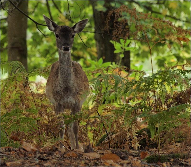 photoblog image Fallow Deer