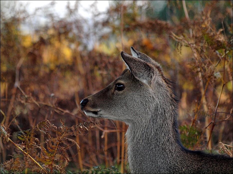 photoblog image Sika Deer