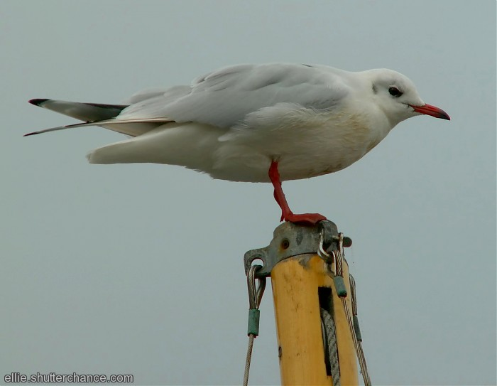 photoblog image Masthead Gull