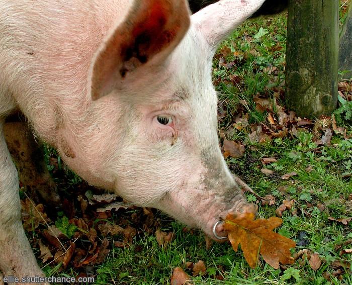 photoblog image Pig in hiding?