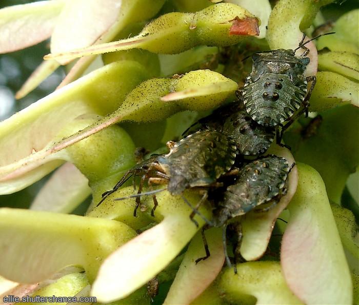 photoblog image Bug nymphs
