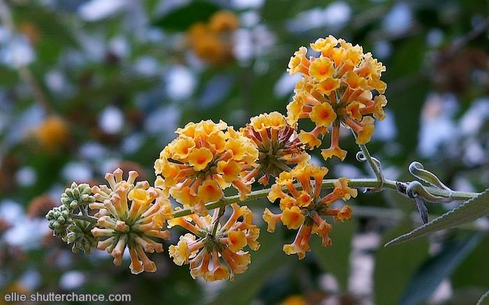 photoblog image Yellow Buddleia