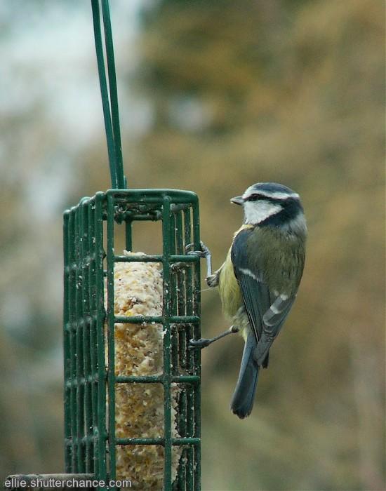 photoblog image Blue Tit on fat feeder