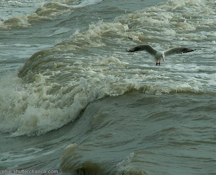 photoblog image Fishing Gull #2