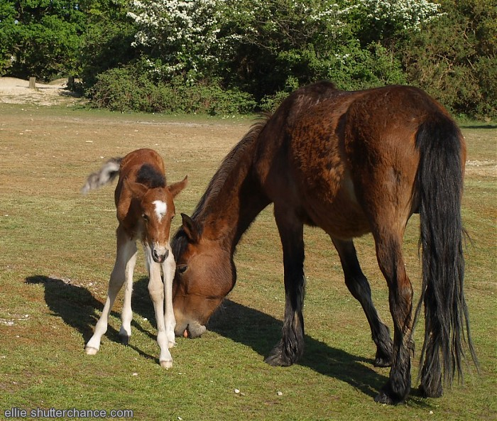photoblog image Today's New Forest foal