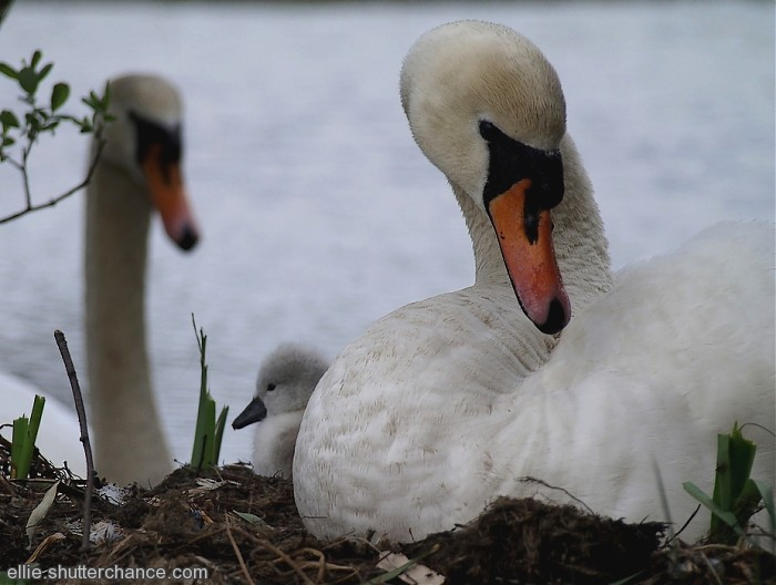 photoblog image One cygnet and proud parents (hatched 5th-7th May)