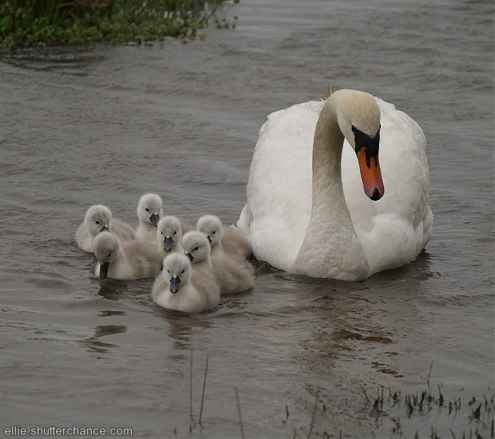 photoblog image Female Swan and cygnets (hatched 5th-7th May)