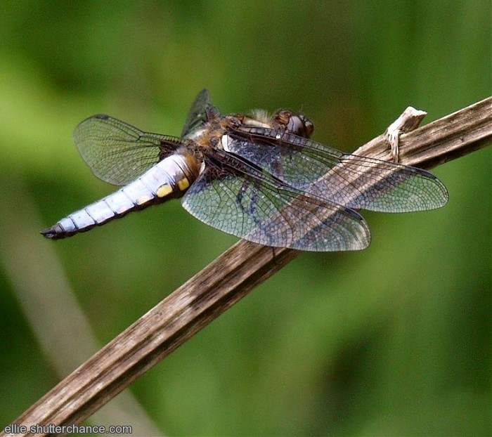 photoblog image Broad-bodied Chaser. Male.