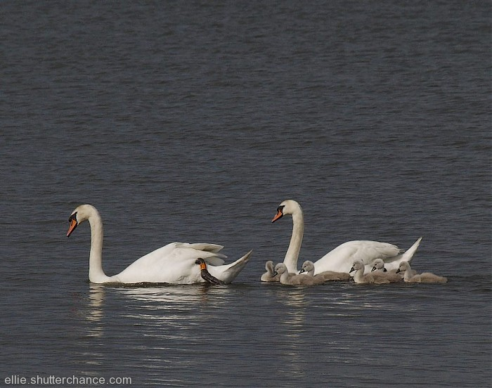 photoblog image Swans and cygnets