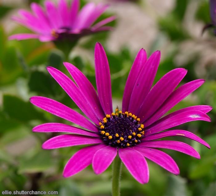 photoblog image Osteospermum