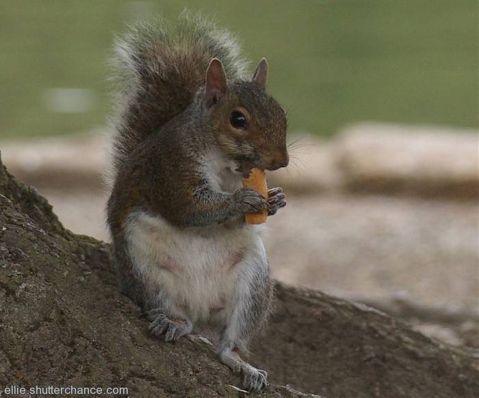 photoblog image Grey squirrel