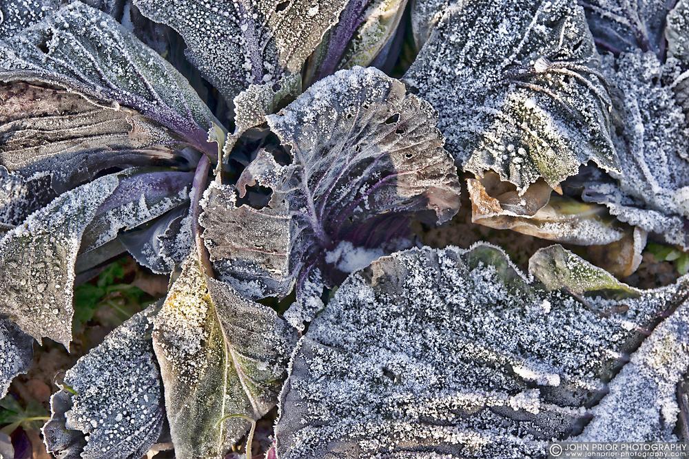 photoblog image Crisp cabbage