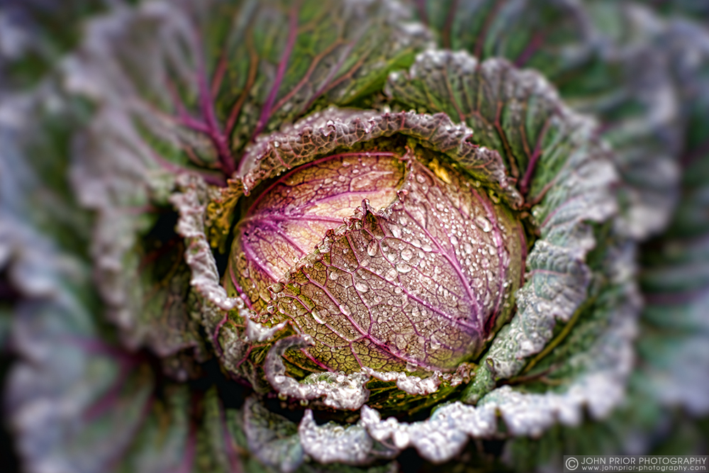 photoblog image Of cabbages