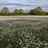 Daisy meadow II