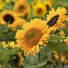 Sunflower supernova
