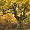 Coppiced Beech