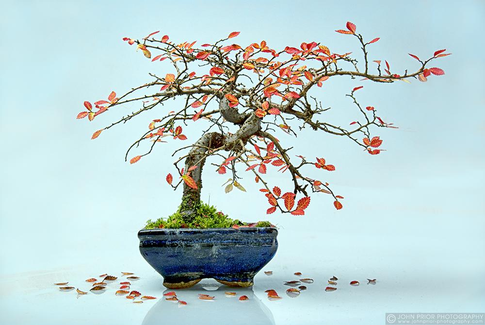 photoblog image Confused bonsai