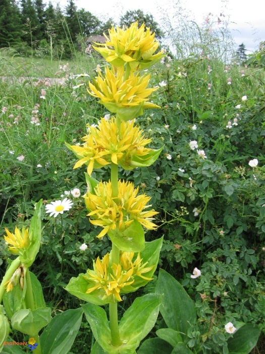 photoblog image La gentiane - fleur d'altitude