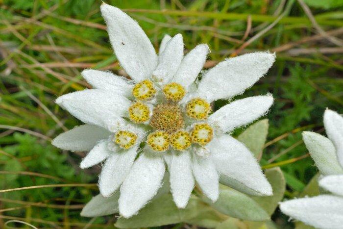 photoblog image L'Edelweiss, fleur symbole de la Suisse