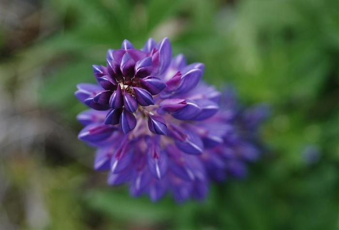 photoblog image Flor de la Patagonia.
