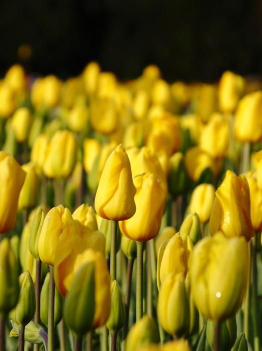 photoblog image Tulipanes.