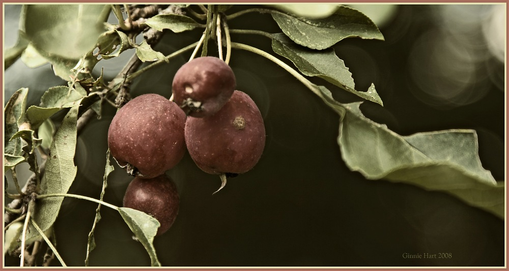 photoblog image Crab Apples