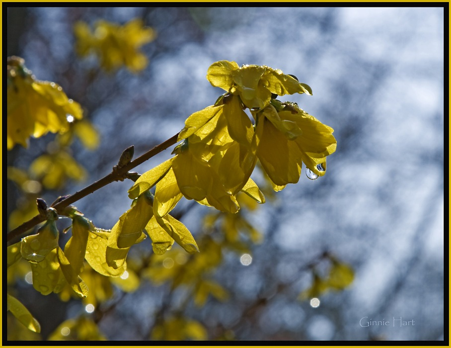 photoblog image When You See the Forsythia in Bloom...