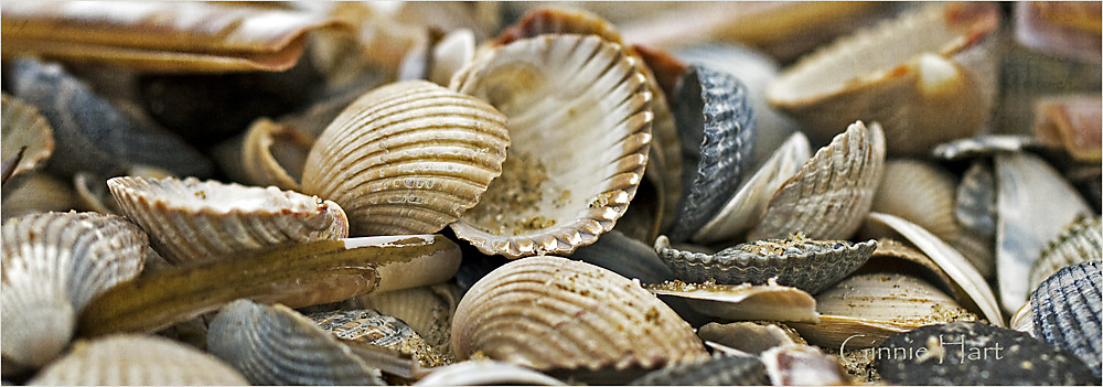 photoblog image Seashore Seashells
