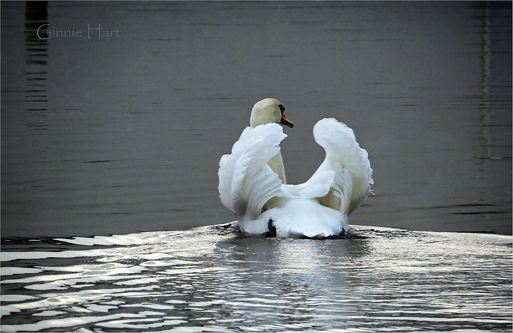 photoblog image <s>Boat</s>  Swan Friday